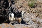image of cashmere goat  - The white and black cashmere goat in the desert - JPG