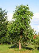 Постер, плакат: pear tree