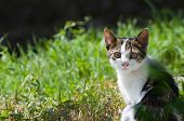 Постер, плакат: Dun Cat Watching In Grass