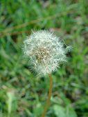 Dandelion In Green 2