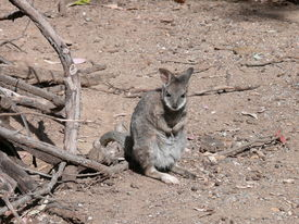 picture of tammar wallaby  - this is a tiny joey tammar wallaby exploring the world outside his mothers pouch - JPG