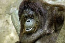 stock photo of orangutan  - close up photo of a Sumatran orangutan - JPG