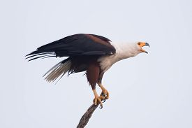 pic of fish-eagle  - An African fish eagle with a white neck yellow beak and talons and brown wings opens its beak to squawk. In the background is a perfect blue sky.