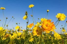 picture of cosmos flowers  - Closeup Orange cosmos flowers or Sulfur cosmos family fompositae in garden - JPG