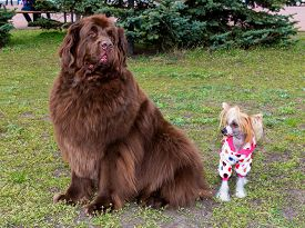 picture of tibetan  - The Tibetan Mastiff and The Chinese crested dog meet in the park. ** Note: Soft Focus at 100%, best at smaller sizes - JPG