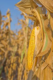 stock photo of corn cob close-up  - Mature maize corn ear on a stalk in harvest ready corn field close up with selective focus - JPG