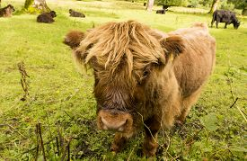 image of calf  - Highland Calf with other Cattle - JPG