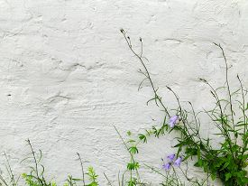 picture of blue-bell  - Blue bells and green grass on textured whitewashed wall of a building - JPG