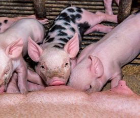 stock photo of pig  - Adorable baby pig in iron cage cute new born pig - JPG