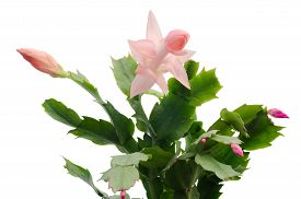 picture of schlumbergera  - Close up Christmas Cactus  - JPG