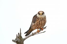 image of falcons  - Red footed falcon resting on a branch isolated on a white background - JPG