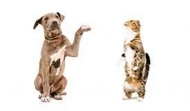 picture of scottish-fold  - Playful puppy Pit bull and a cat Scottish Fold isolated on white background - JPG