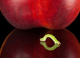 stock photo of crawl  - Small geometrid crawling to red peach isolated on black - JPG
