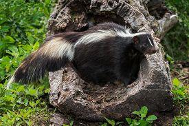 pic of hollow log  - Adult Striped Skunk  - JPG