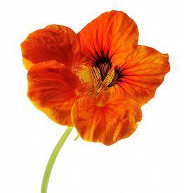 picture of nasturtium  - single flower of orange nasturtium isolated on white background - JPG