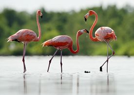 picture of pink flamingos  - The pink Caribbean flamingo ( Phoenicopterus ruber ruber )drink fresh water. Pink flamingo goes on a water and drink. ** Note: Visible grain at 100%, best at smaller sizes - JPG