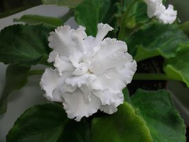 picture of six-petaled  - Saintpaulias, commonly known as�African violets, are a genus of 6-20 species of�herbaceous�perennial�flowering plants�in the family�Gesneriaceae.