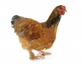 foto of brahma  - brahma chicken in front of white background - JPG