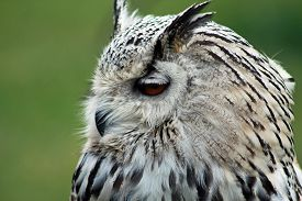 stock photo of wise  - beautiful wise owl Close up in a wildpark - JPG