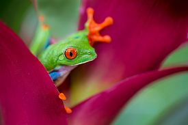 image of red eye tree frog  - red eyed tree frog from the tropical jungle of Costa RIca and Panama macro of a curious exotic rain forest animal - JPG