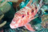 Spotted Goatfish