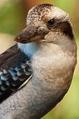 picture of kookaburra  - Laughing Kookaburra of the Kingfisher family is often found staring intently downward to the ground searching for any sign of earthworms or other prey - JPG