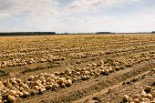 harvest company (onions)