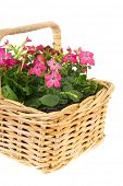 Pink Nicotiana flowers in basket isolated over white