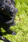 foto of dog eye  - black dog looks up against green foliage - JPG
