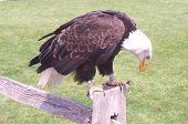 Bald Headded Eagle