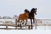 Two horses jumping in training ground together