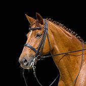 dressage, chesnut horse - isolated on black