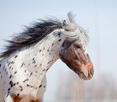 Portrait of pony appaluza