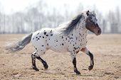 Beautiful pony appaloosa running in field