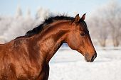 Bay trakehner stallion in winter
