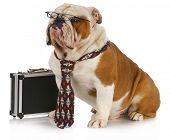 Постер, плакат: собака бизнес Английский бульдог мужчины носить галстук и очки сидя рядом с портфель