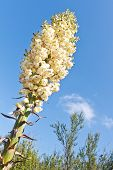 Our Lord's Candle, Yucca, Hesperoyucca Whipplei