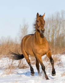 picture of running horse  - bay horse running in field - JPG