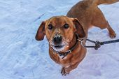 Dachshund Dog On The Background Of Snow. Brown Dog. Dog On A Leash poster