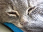 Grey Furry Cat Sleeping Lying Sheltered Tail Closed His Eyes Resting poster