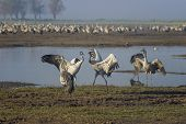 Dancing Cranes. Common Cranes In A Natural Bird Habitat. Birdwatching In The Hula Valley At Sunrise poster