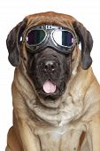 stock photo of english-mastiff  - English Mastiff dog in Vintage Motorcycle Goggles - JPG