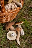 Several Porcini Mushrooms (boletus Edulis, Cep, Penny Bun, Porcino Or King Bolete) And Wicker Basket poster