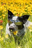 Happy black and white dog lying on a flowery meadow in spring sunshine wearing shades poster