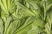 Common Nettle, Stinging Nettle - Urtica Dioica, Close Up poster