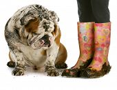 dirty dog and muddy boots - english bulldog sitting beside woman wearing rubber boots on white backg