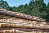Pine Logs, Cut Down By Logging Against The Background Of The Forest. poster
