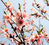 picture of cherry blossoms  - Bright pink cherry blossoms growing on a tree after the rain - JPG
