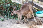 Kangaroo Mother With Baby Joey In Pouch poster