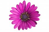 Close-up Of A Pink African Or Cape Daisy (osteospermum) Flower